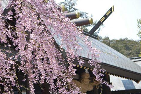 北海道神宮のシダレザクラ