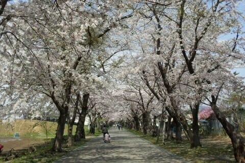 北斗市の桜並木