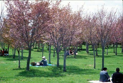 モエレ沼公園 桜