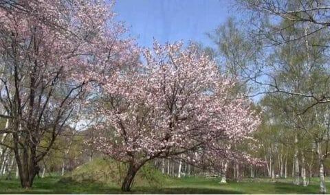 真駒内公園の桜
