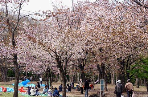 円山公園のお花見