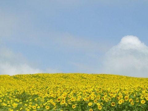 千歳のひまわりの丘